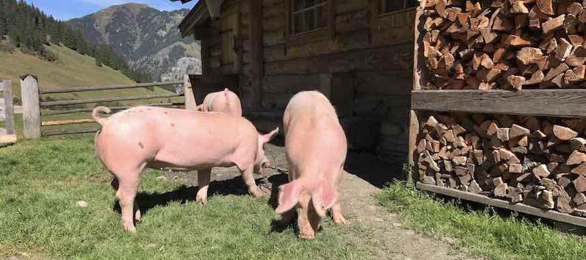 Solidarische Landwirtschaft Schweine