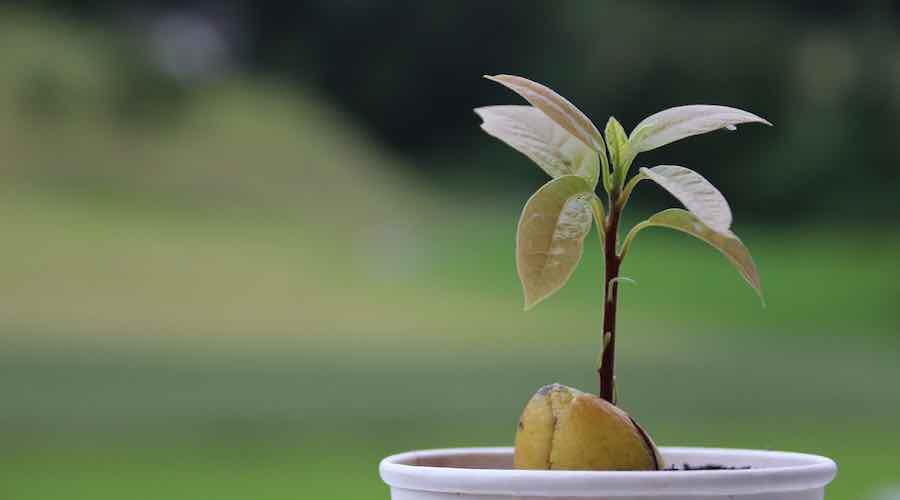 avocado, Pflanze