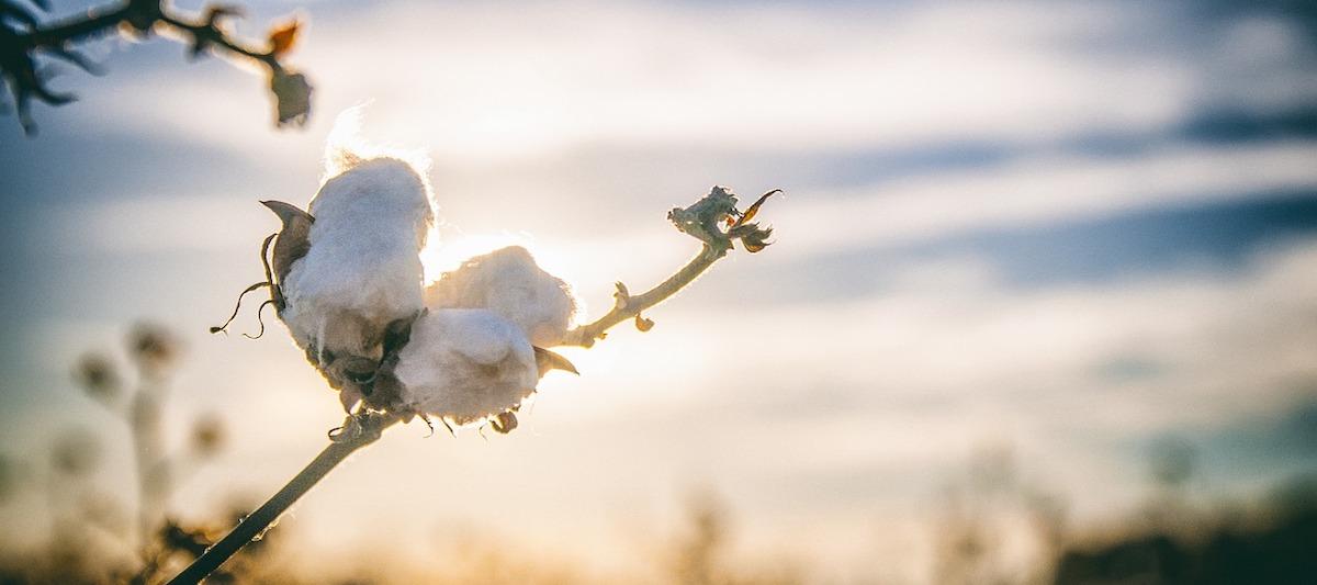 Baumwolle Pflanze