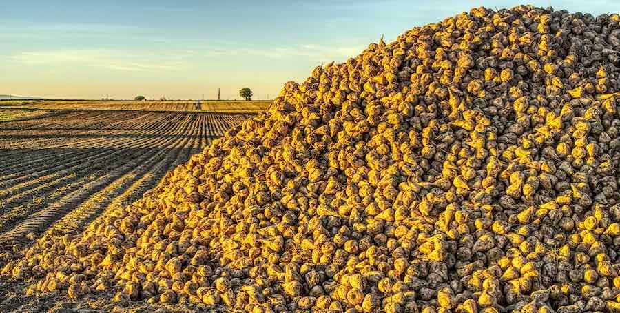 Biomasse Zuckerrüben