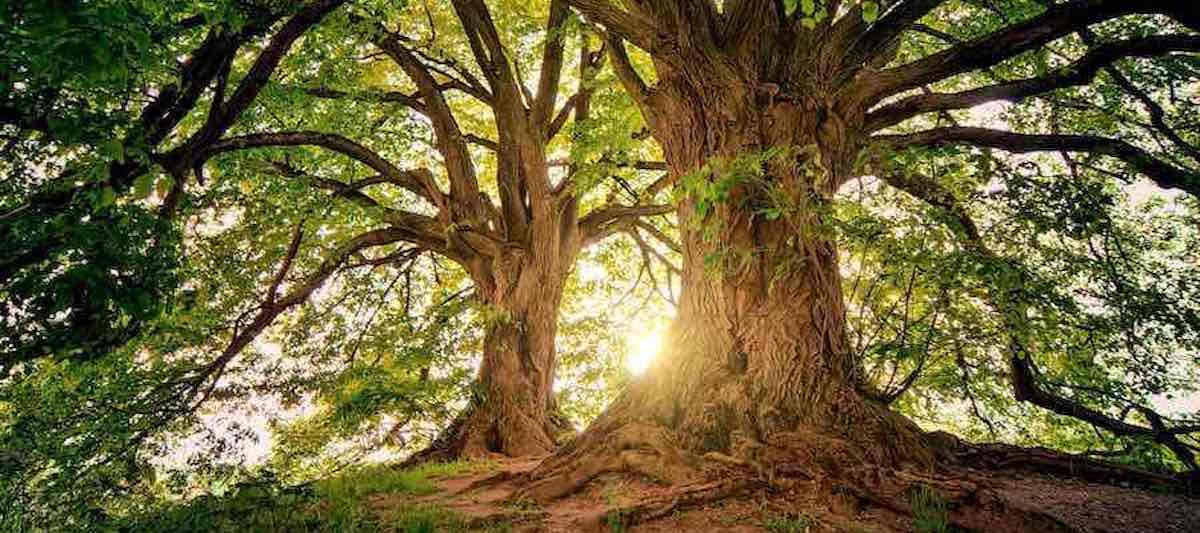 Klimaschutz alte Bäume
